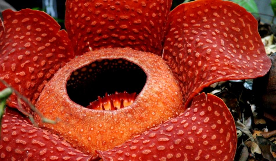 rafflesia parazita