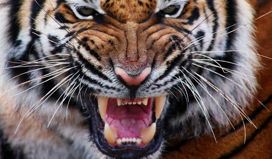 pierderea în greutate a tigrilor gemeni
