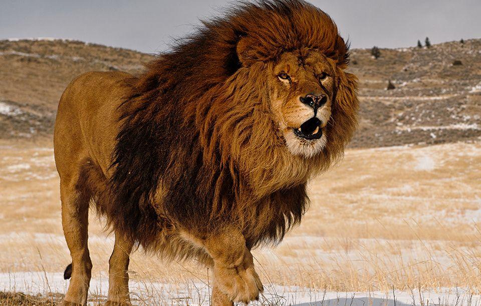 viziune groasă a leului