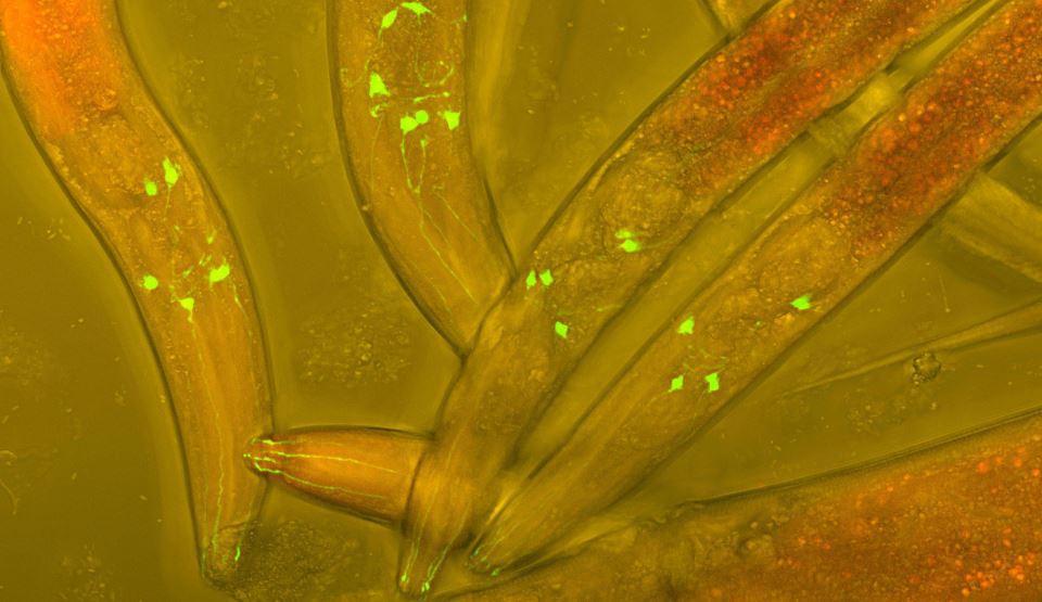 Picătură din paraziți fără bacterii