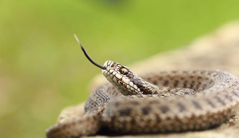 beneficiile gârbei de șarpe pentru pierderea în greutate cele mai bune sfaturi pentru pierderea în greutate pentru bărbați