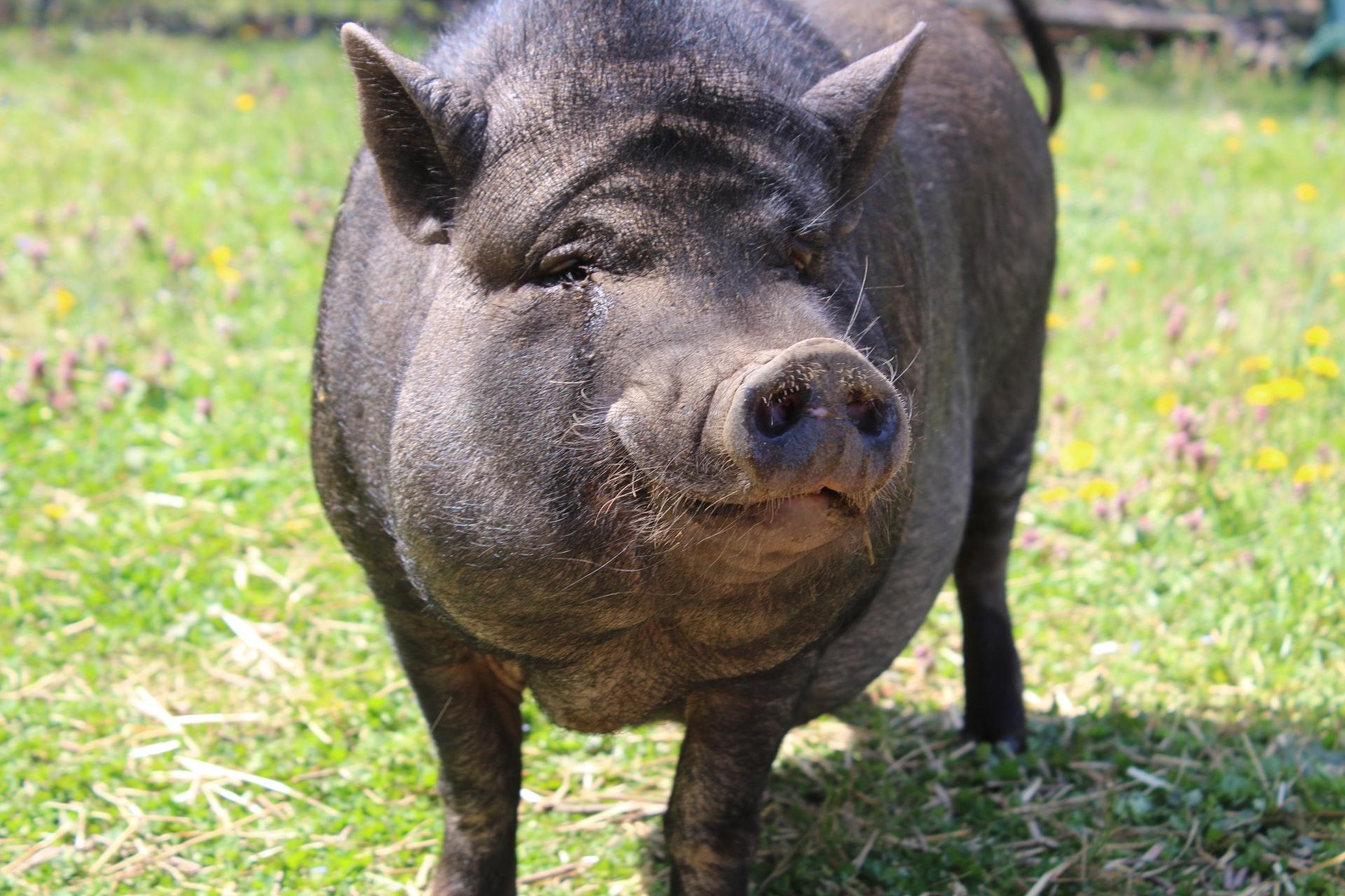 Care este, de fapt, specia de porci cu cea mai sănătoasă carne, slabă în colesterol