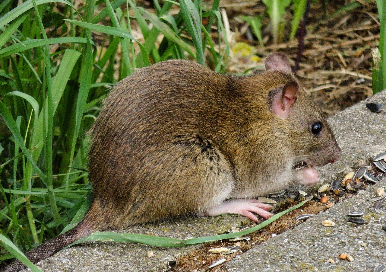 Motivul pentru care șobolanii au devenit mai agresivi în ultima perioadă