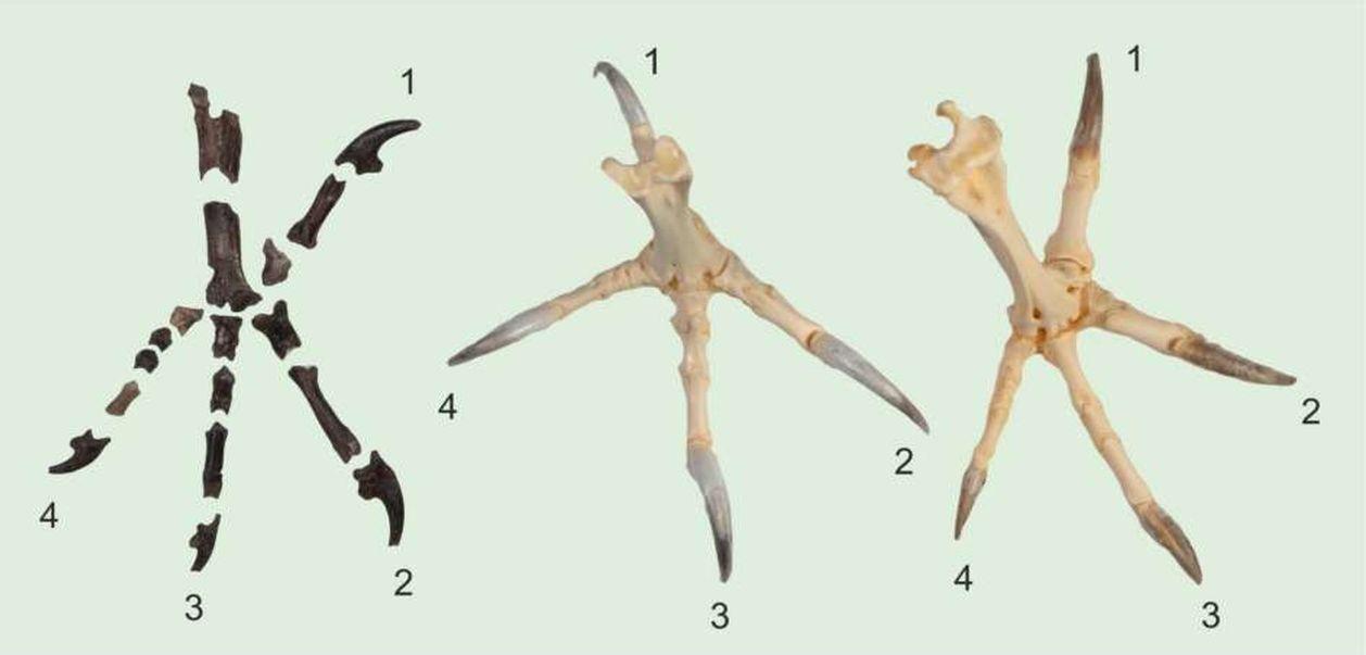 Fosila veche de 55 de milioane de ani a unei bufnițe dezvăluie cât de periculoase erau aceste păsări de noapte