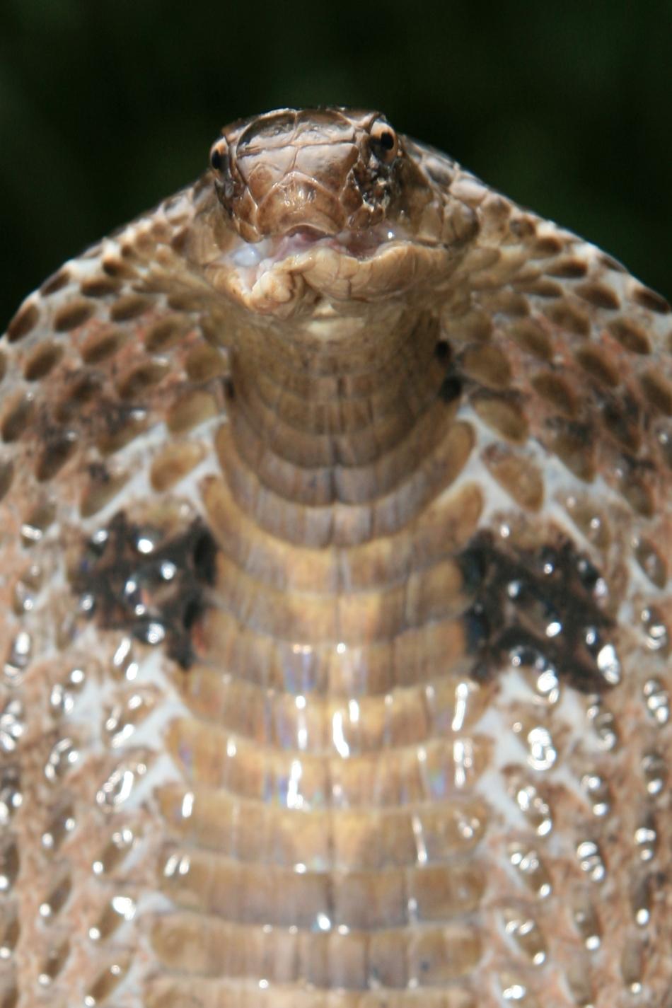 Cobra este cel mai căutat şarpe indian de către îmblânzitori