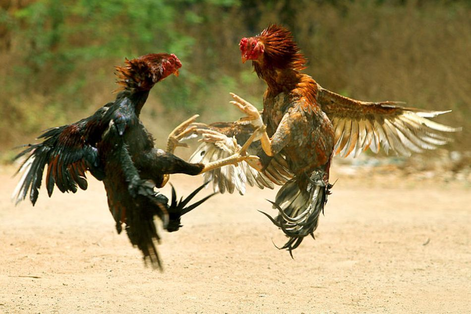 Doi cocoşi luptători din India