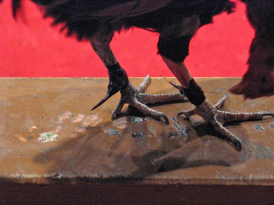 Lame metalice foarte ascuţite legate de pintenii unui cocoş care urmează să intre în luptă