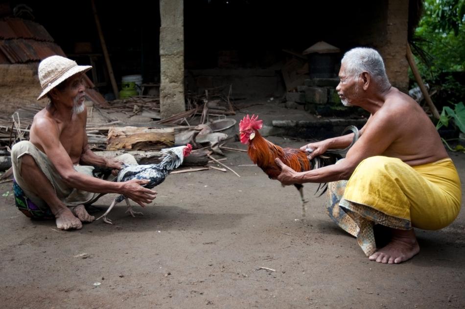 Antrenamentul a doi cocoşi din Thailanda
