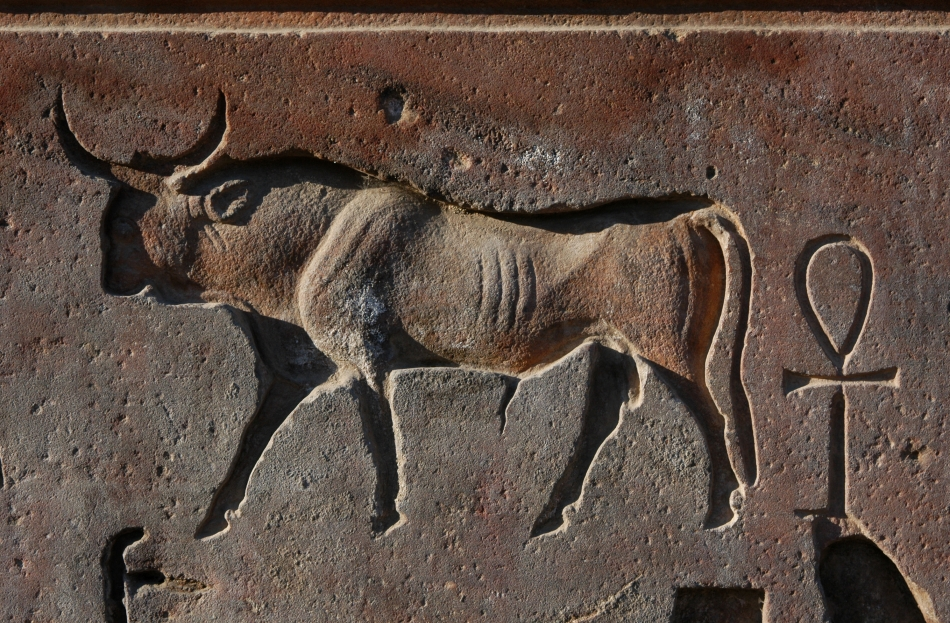 taurul Apis, întruparea zeului Ptah, era venerat şi îmbălsămat asemeni unui faraon