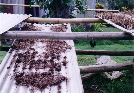 Plantele din care se prepară kava