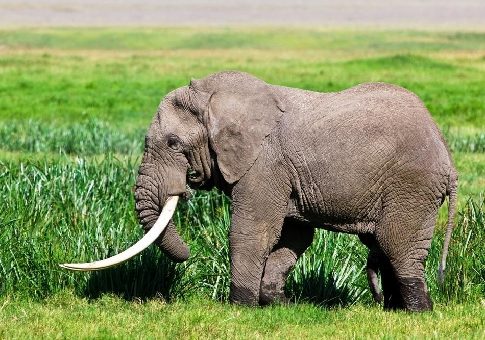 elefant record