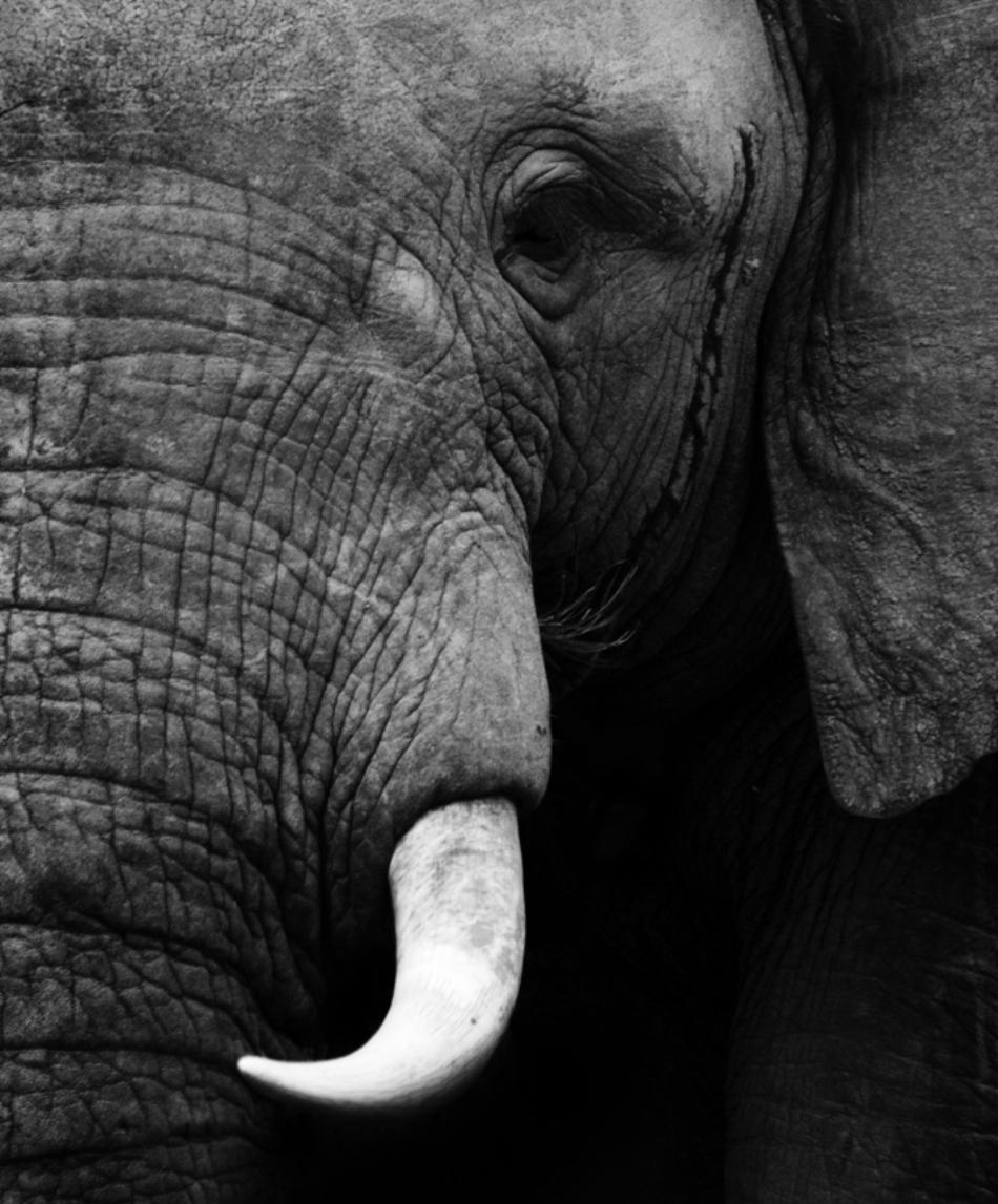 portret de elefant african