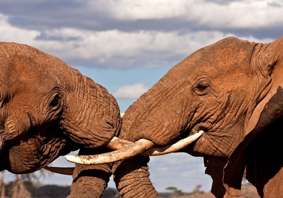 elefanti in lupta de dominare