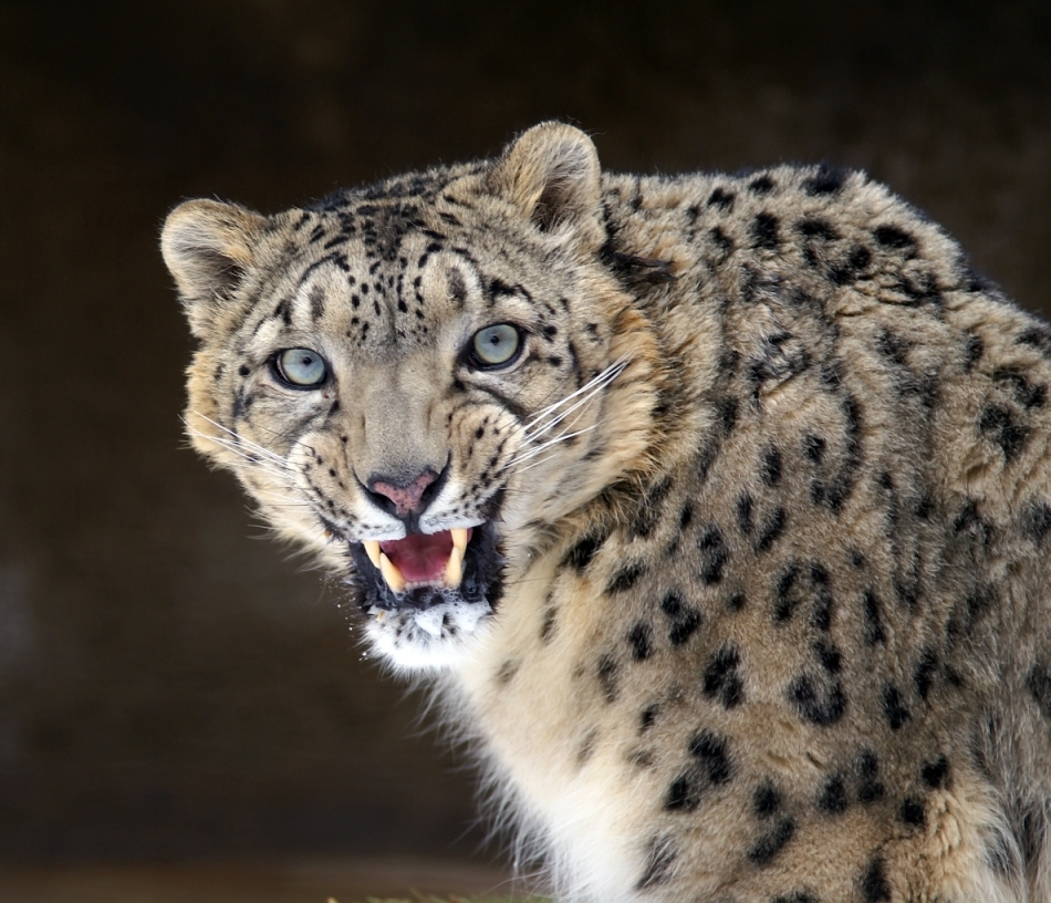 Leopardul zăpezilor expresiv
