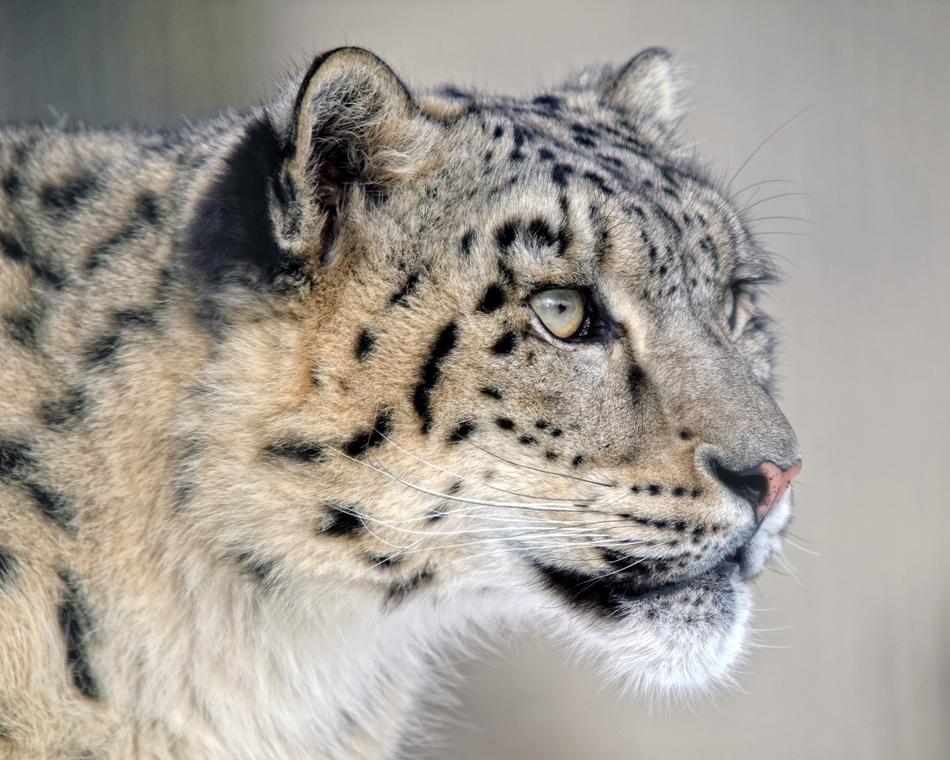 Cel mai frumos leopard.