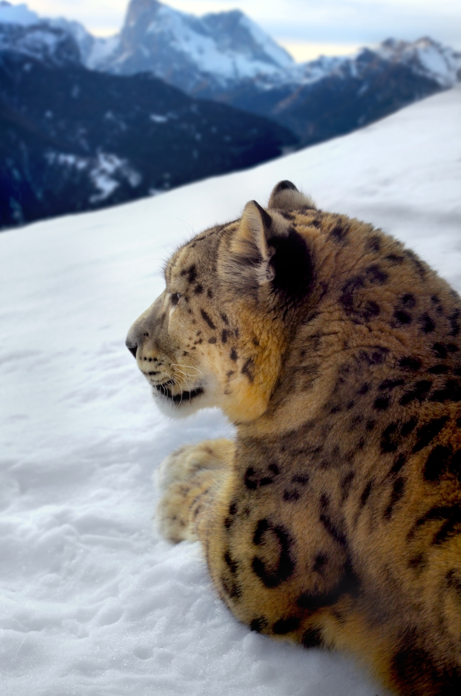 Leopardul zăpezilor îşi observă teritoriul.