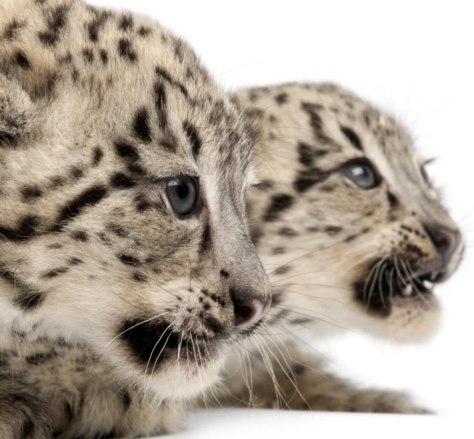 Pui de leopard al zăpezilor.