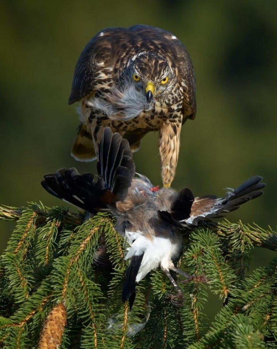 Uliu porumbar tânăr care devorează o gaiţă