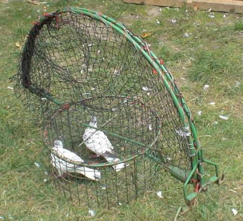O altă capcană ilegală pentur prins ulii, postată pe un forum al crescătorilor de porumbei din România