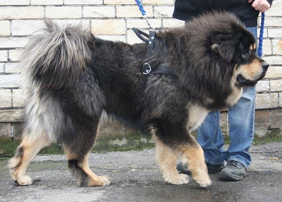 Mastif tibetan la un concurs de selecţie canină din Polonia