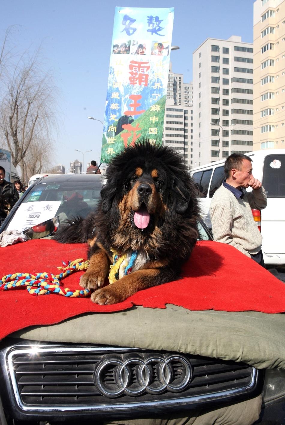 Dog tibetan oferit spre vânzare în China