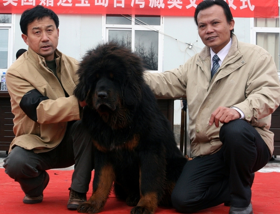 Dog tibetan in timpul unei expozitii canine