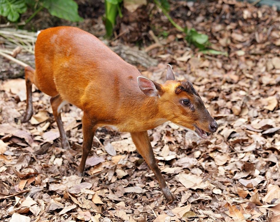 Muntiacul roşu sau indian