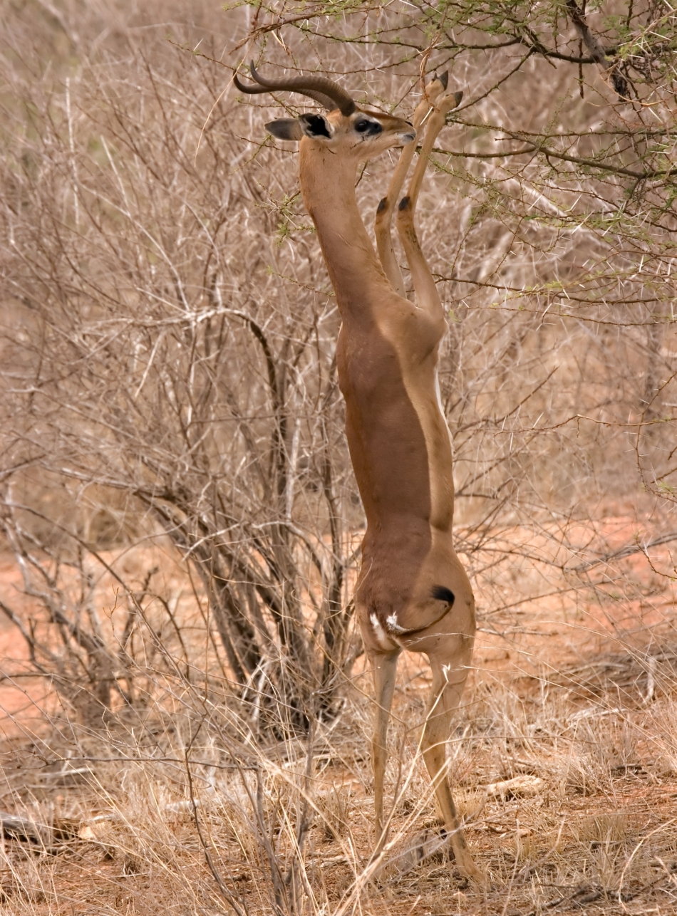 Gazela-girafă
