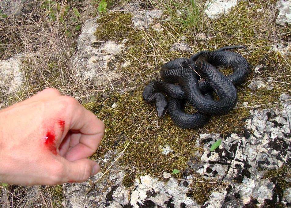 Muşcătură tipică de şarpe