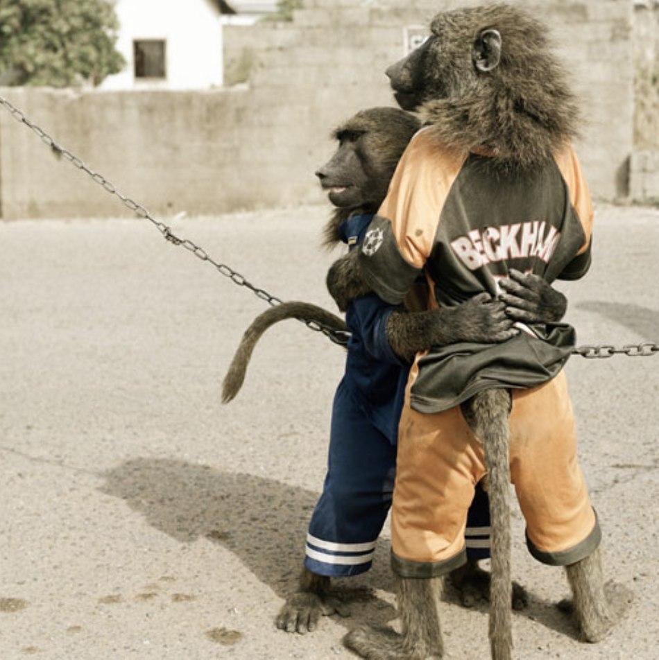 """Babuini """"echipaţi"""" pentru un spactacol pe străzile din Lagos"""