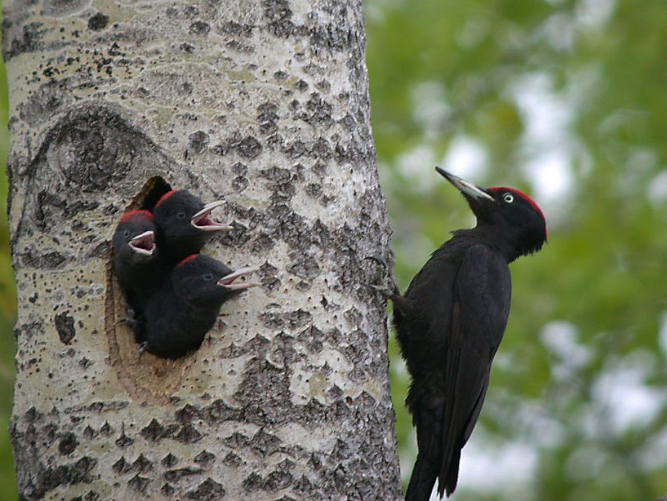 Mascul de ciocănitoare neagră cu puii la cuib. Ciocănitoarea neagră este cea mai amre specie de ciocănitori din România şi din Europa. Trîieţte în pădurile mari de munte, dar şi în Munţii Măcinului şi Delta Dunării.