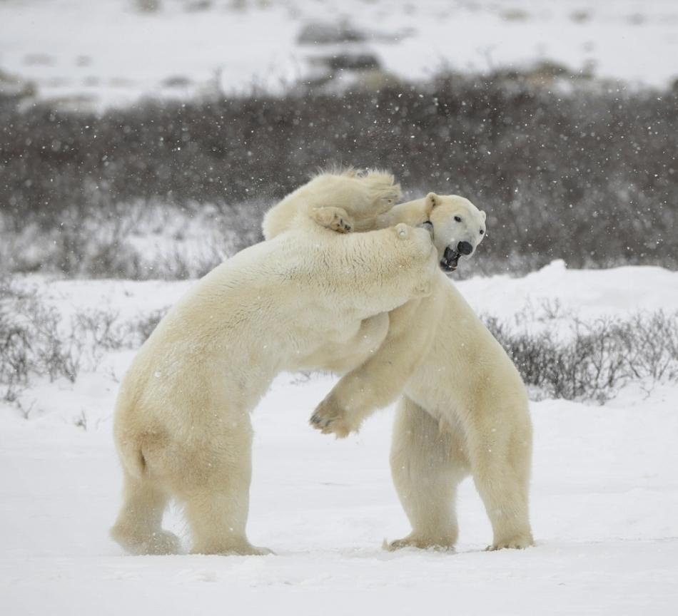 Doi urşi polari masculi în luptă