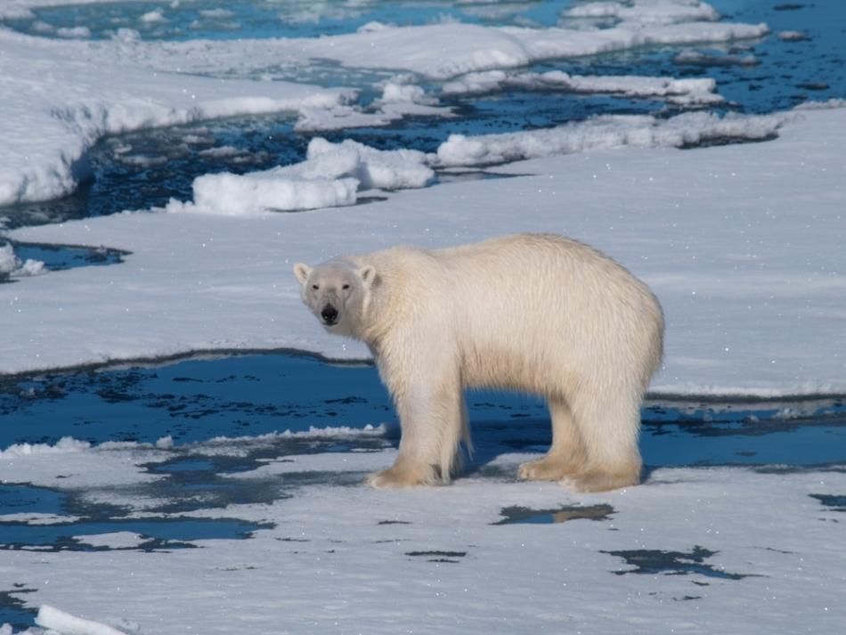 Urs polar pe banchiză