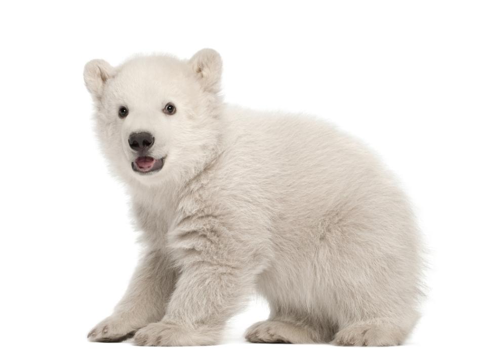 Pui de urs polar