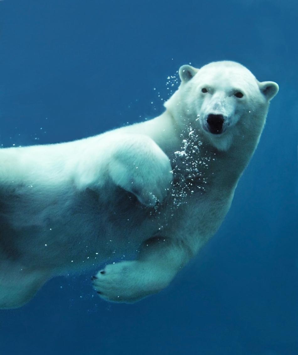 Un urs polar poate înota fără probleme şi în apă