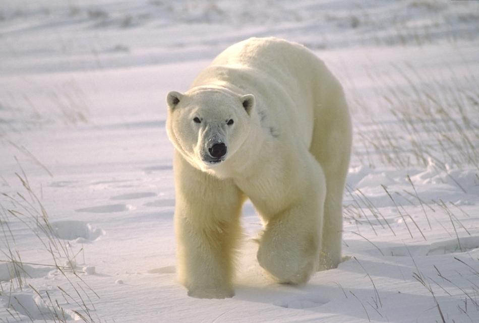 Un urs polar mascul din Canada