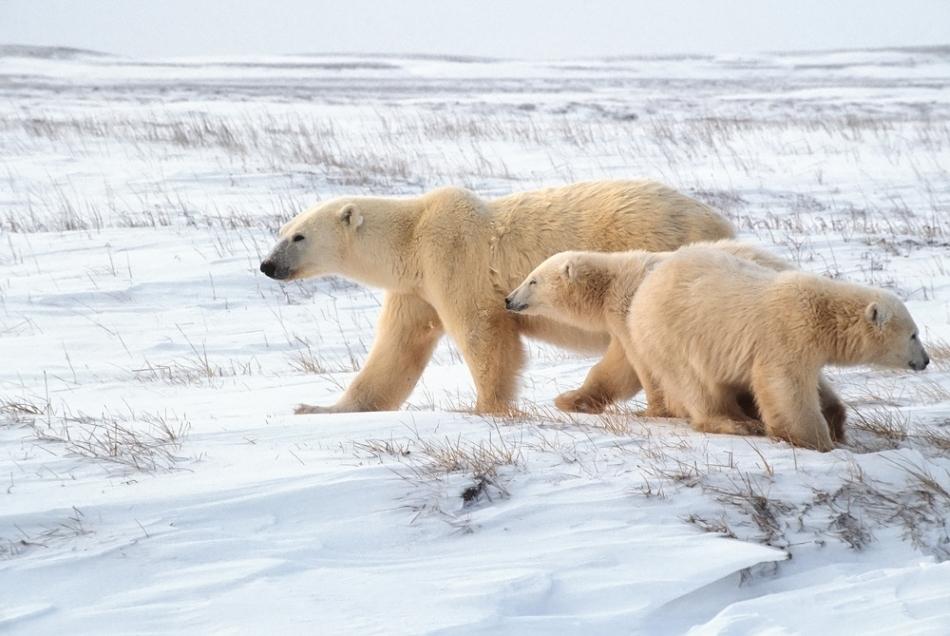 O ursoaică cu pui mari