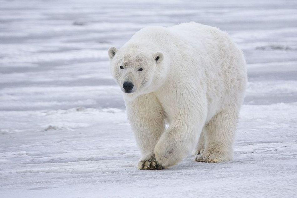 Un urs polar mascul din nordul Siberiei