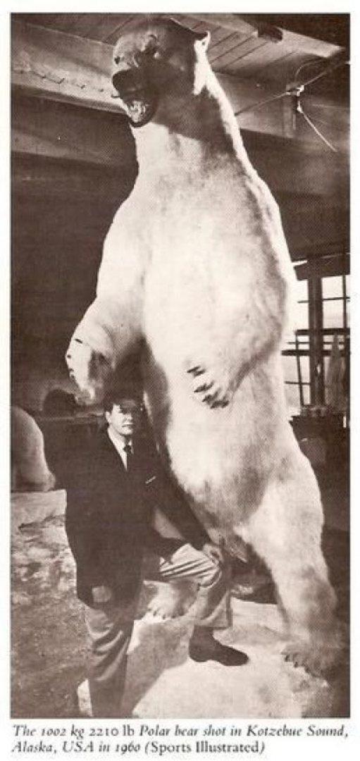 Cel mai mare urs polar din lume este astăzi împăiat în oraşul Seattle