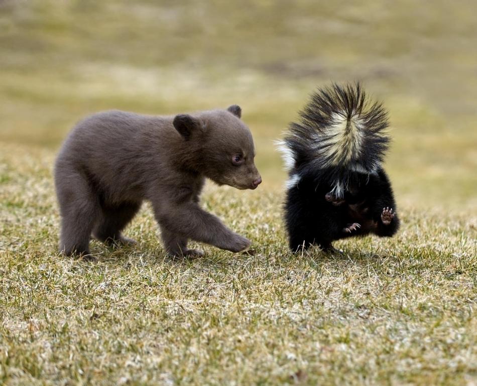 Pui de urs  american (baribal) lângă un sconcs