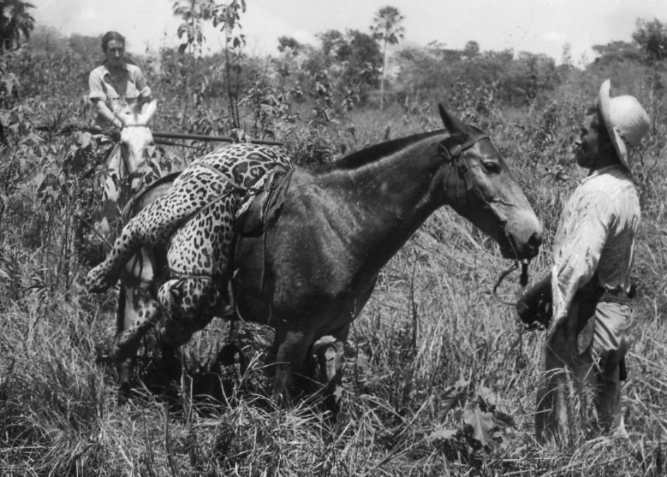 Siemel se intoarce de la vânătoarea unui alt jaguar
