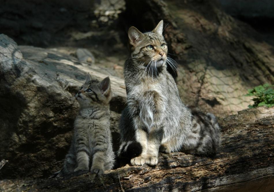 Pisică sălbatică femelă cu puii în faţa vizuinei