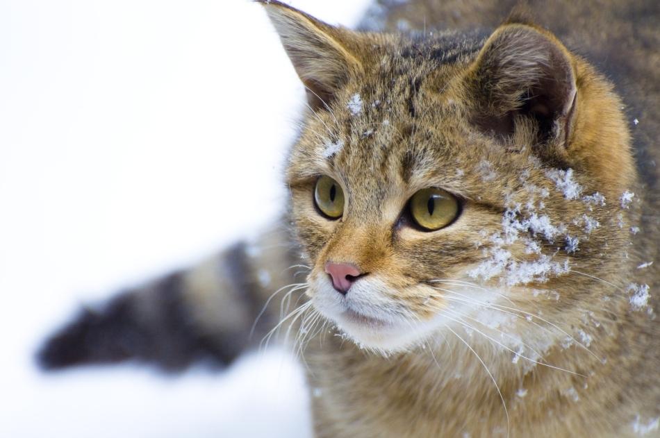 Pisică sălbatică iarna