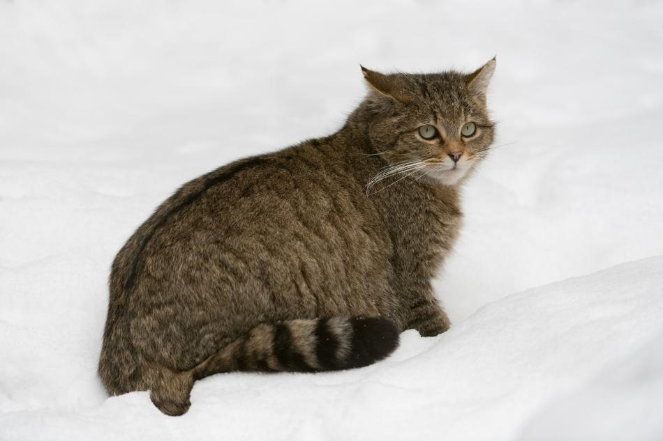 Motan de pisică sălbatică în zăpadă