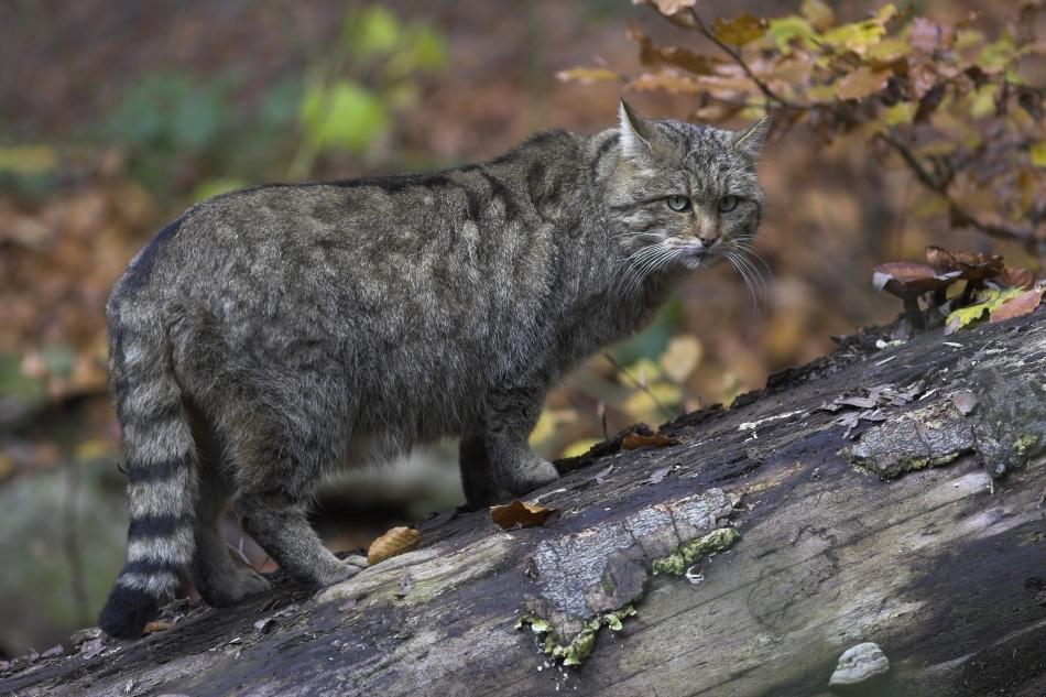Pisică sălbatică ieşită la vânătoare