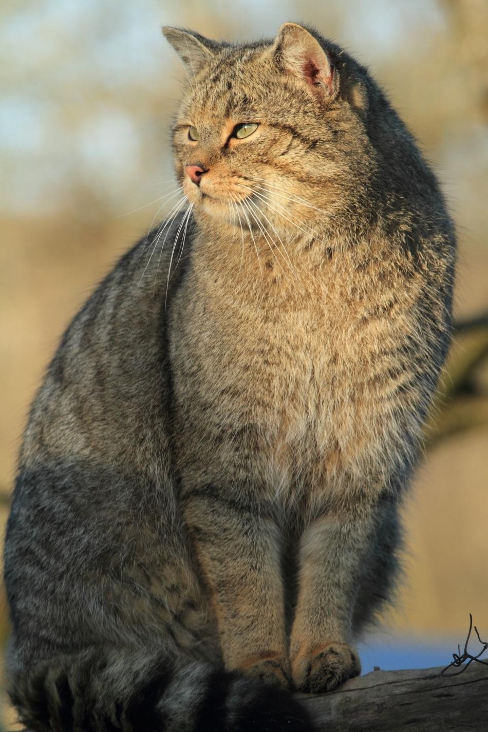 Motan impozant de pisică sălbatică