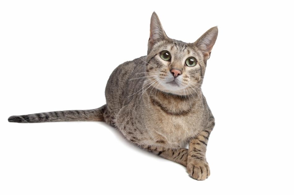Pisică de Bengal cu coloritu de fond gri
