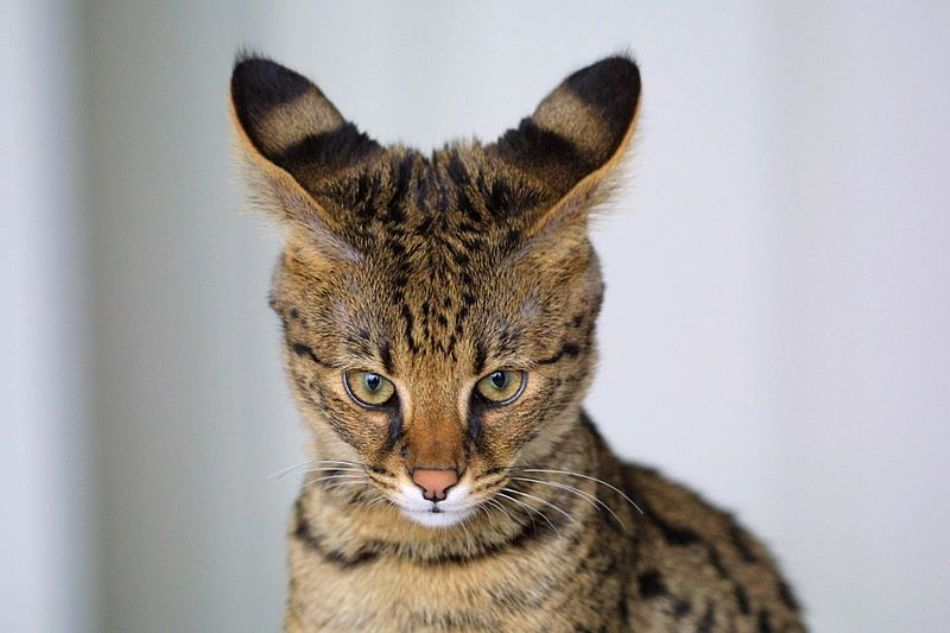 Pisică Savannah