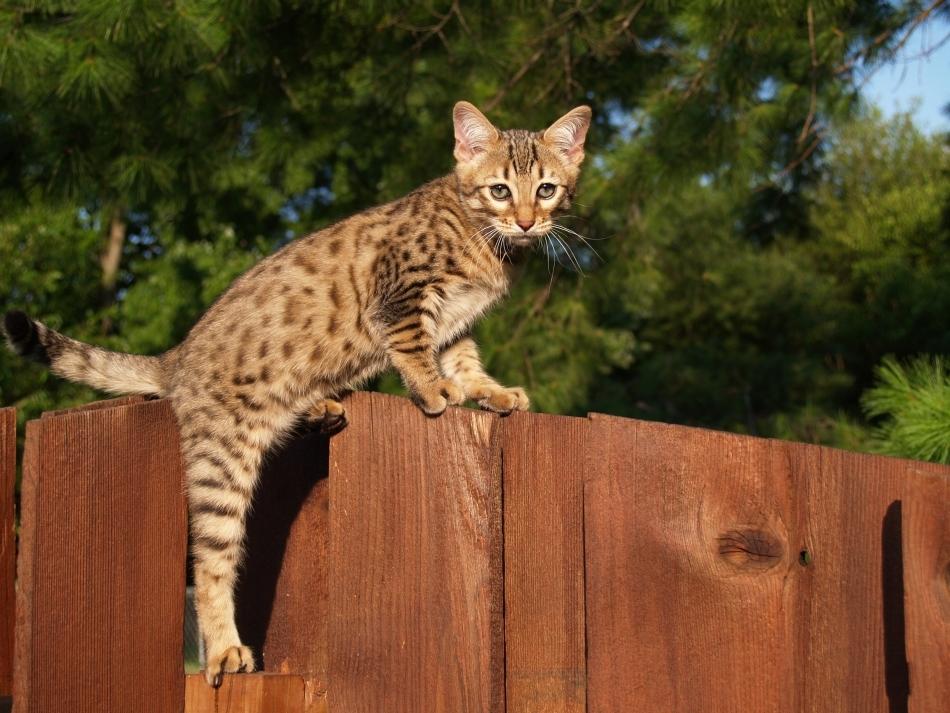 Pisică de Bengal