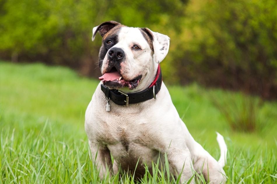 Bulldog american